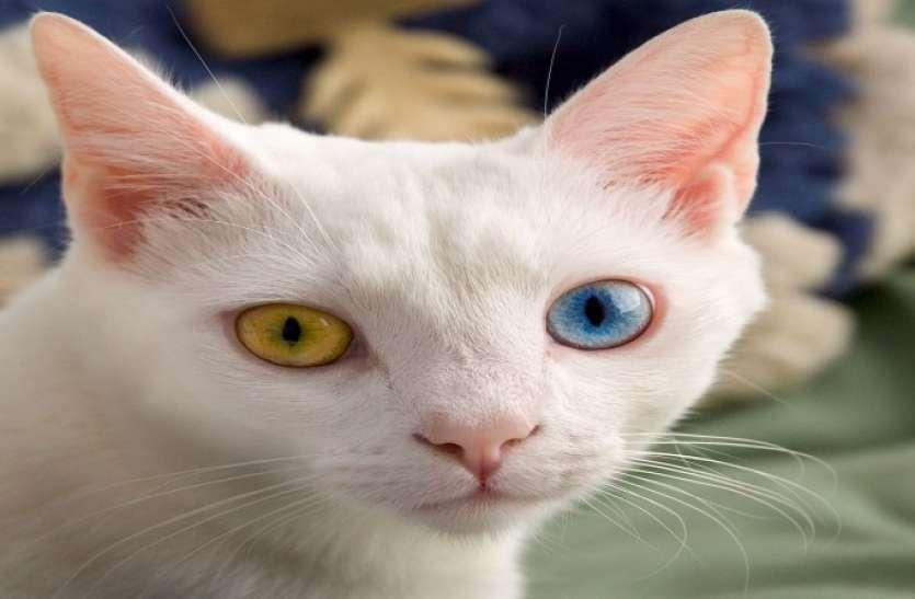 जंगल के रास्ते से मिली दुर्लभ बिल्ली, जिसकी आंखों का रंग देख आप हो जाएंगे हैरान, कीमत है लाखों में
