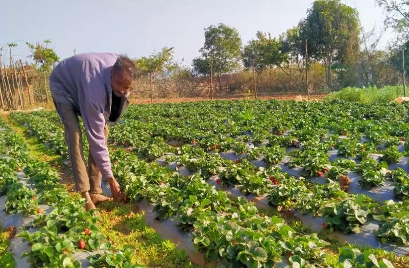 सब्जी के साथ अब बागान में स्ट्राबेरी की खेती कर किसान रामप्रसाद कर रहा अच्छी आमदनी