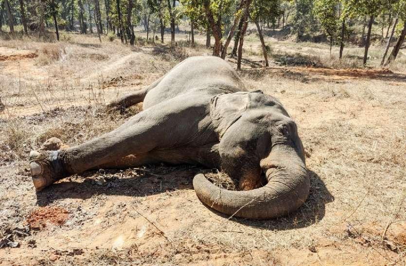 बांधवगढ़: हाथियों का कुनबा बढ़ाने वाली हथिनी तूफान की मौत