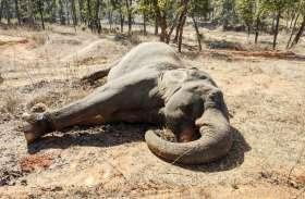 Raigarh: एक सप्ताह तक पड़ रहा हाथी का शव, दोनों दांत गायब