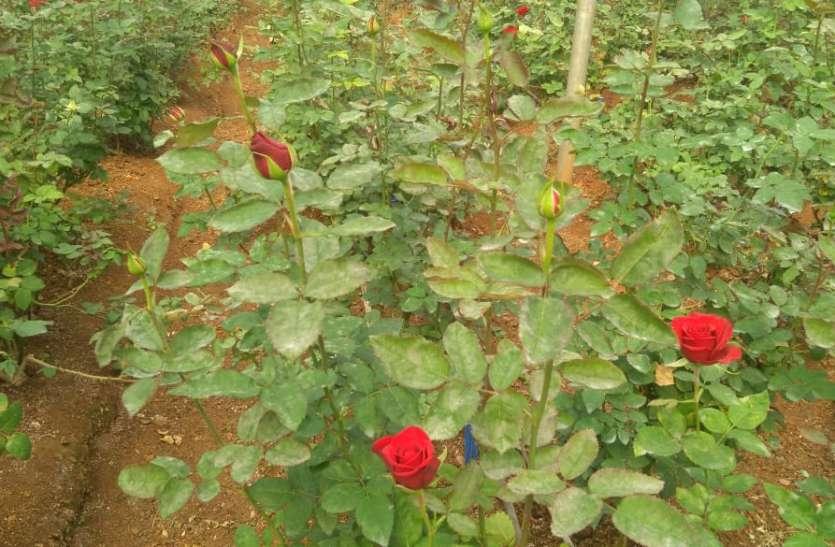 दिल्ली तक महक बिखेरते हैं इनके गुलाब
