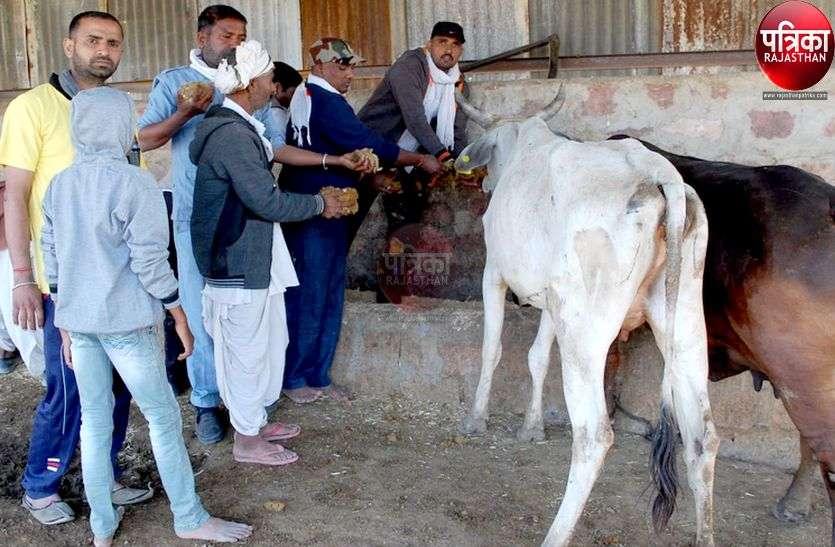 बेटे का मृत्यु भोज ना करके गायों को जिमाई लापसी
