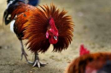 30 दिनों से हवालात में बंद हैं दो मुर्गे, इस जुर्म की भुगत रहे हैं सजा