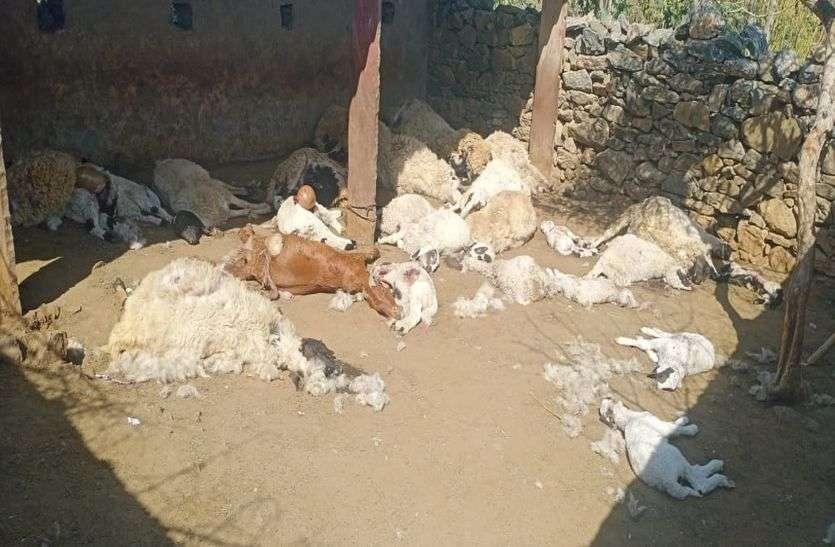 पैंथर ने किया 38 भेड़ बकरियों का शिकार
