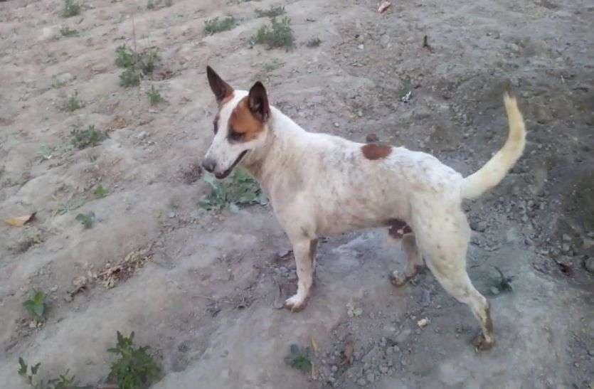 राजस्थान में यहां पागल कुत्ते ने 36 लोगों को काटकर कर दिया घायल, अस्पताल में पहुंचे तीन दर्जन मरीज, मची अफरा-तफरी