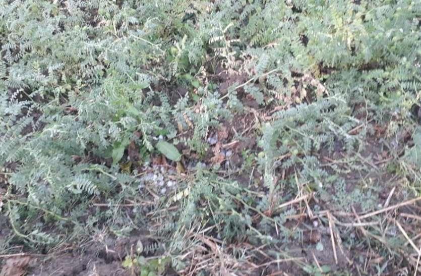 बेमौसम बारिश, ओलावृष्टि ने मचाई तबाही, फसलें हुई बर्बाद