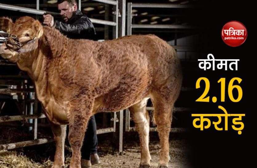ये है दुनिया की सबसे महंगी गाय, 2 करोड़ 61 लाख रुपए में हुई नीलाम