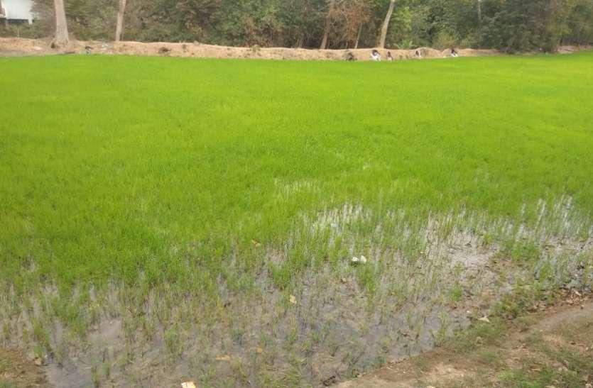 बदली-बारिश से कीट प्रकोप बढ़ा, किसान चिंतित