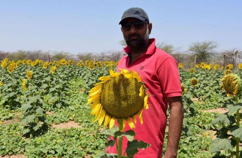 सूर्यनगरी में सूरजमुखी की खेती कर किया नवाचार