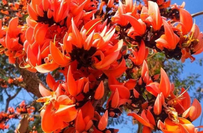पलाश के फूलों से सज गए मेवाड़ के जंगल