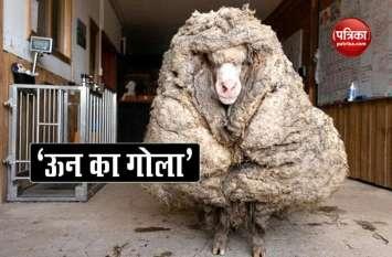 Video: सालों से भटक रही थी अनोखी भेड़, बाल काटने पर मिला 35 किलो ऊन