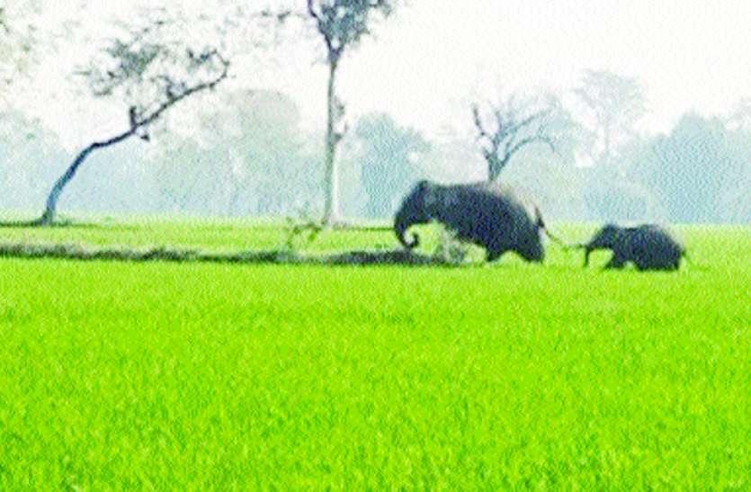 महासमुंद से पहुंचे हाथी ने रायगढ़ में वृद्धा को कुचला