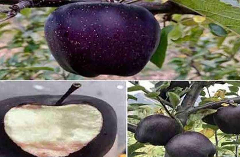 शहद से भी मीठा है ये बैंगनी सेब, सैंकड़ों रुपए मिलता है सिर्फ एक