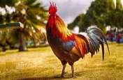 मुर्गे ने अपने मालिक की ली जान, अब कोर्ट में होगी पेशी, यहां पढ़े पूरी खबर
