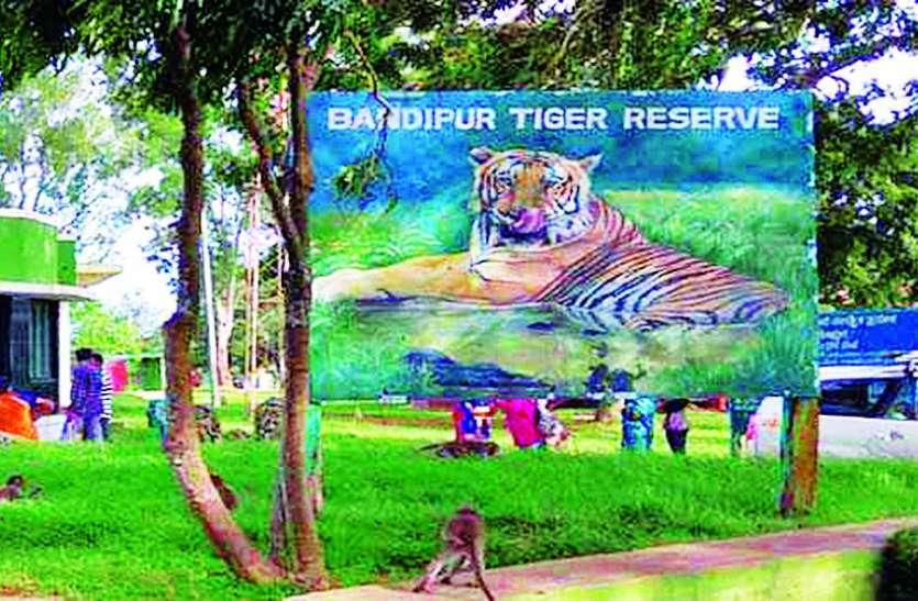 बंडीपुर टाइगर रिजर्व में पकड़ी गई घायल बाघिन