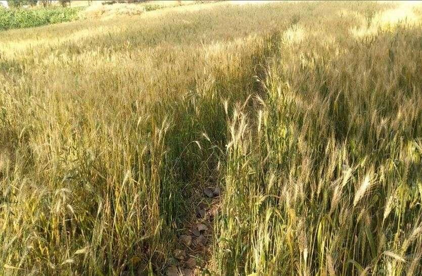 बढ़ते तापमान ने बढ़ाई किसानों की चिंता, कृषि विभाग ने दी फसलों के बचाव की सलाह