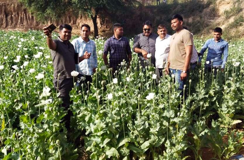 जिला प्रशासन ने पटवारी और ग्राम विकास अधिकारी से पूछा सवाल- सरकारी भूमि पर कैसी हुई अफीम की खेती