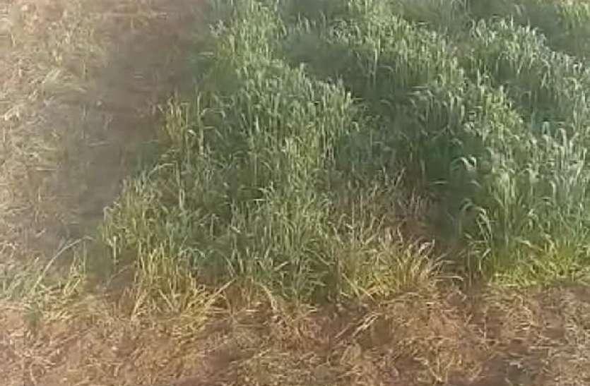 कृषि कानूनाें के विराेध में किसान ने खड़ी फसल में चला दिया ट्रैक्टर
