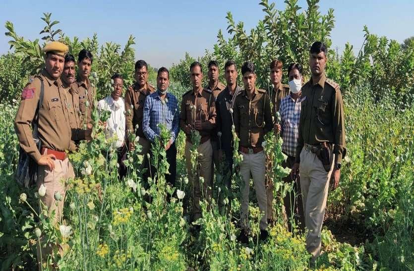 अमरूदों के बगीचे में पकड़ी अफीम की अवैध खेती