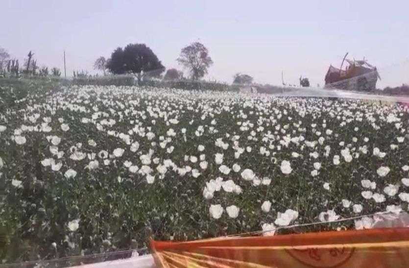 अवैध अफीम खेती पर  चीरा लगने के तैयारी अभी तक नहीं हुई टीम की जांच पूरी
