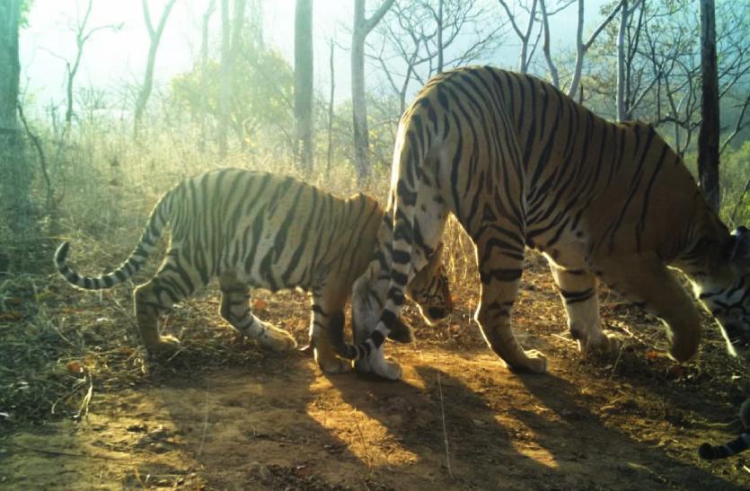 खुशखबरीः पन्ना टाइगर रिजर्व के नए मेहमान, बाघिन ने जन्मे चार शावक