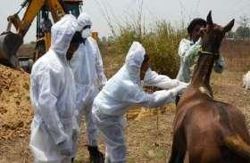 घोड़े में मिला बरखडिया मेलिया खतरनाक वायरस, जहर का इंजेक्शन देकर दफनाया