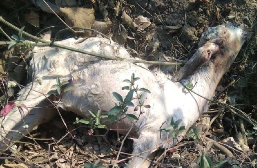 तेंदुए ने घर में घुसकर बकरी, बछड़े को बनाया शिकार