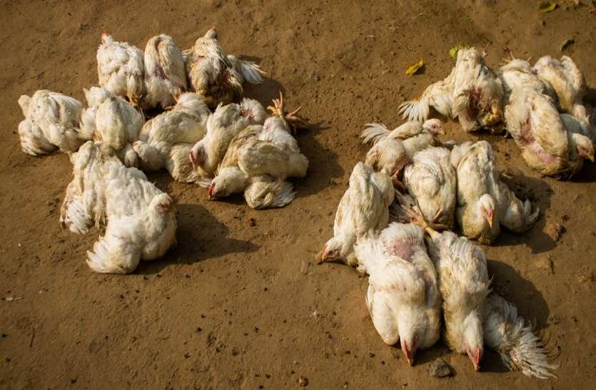 पोल्ट्री फार्म में अचानक हजारों मुर्गियां मरी, रात में जेसीबी से गड्ढा खोद दफन किया, पूरे इलाके में बर्ड फ्लू की दहशत