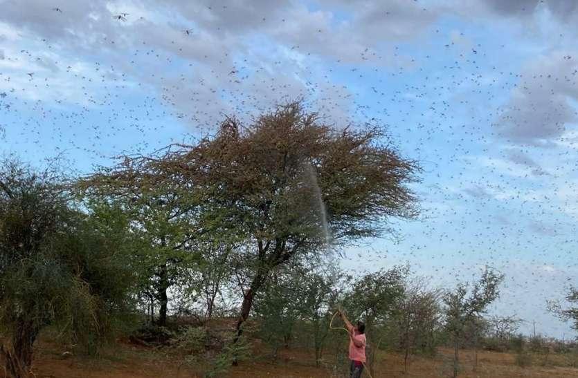 अफ्रीकी देशों में ही मर गई टिड्डियां, भारत पर बड़ा खतरा टला