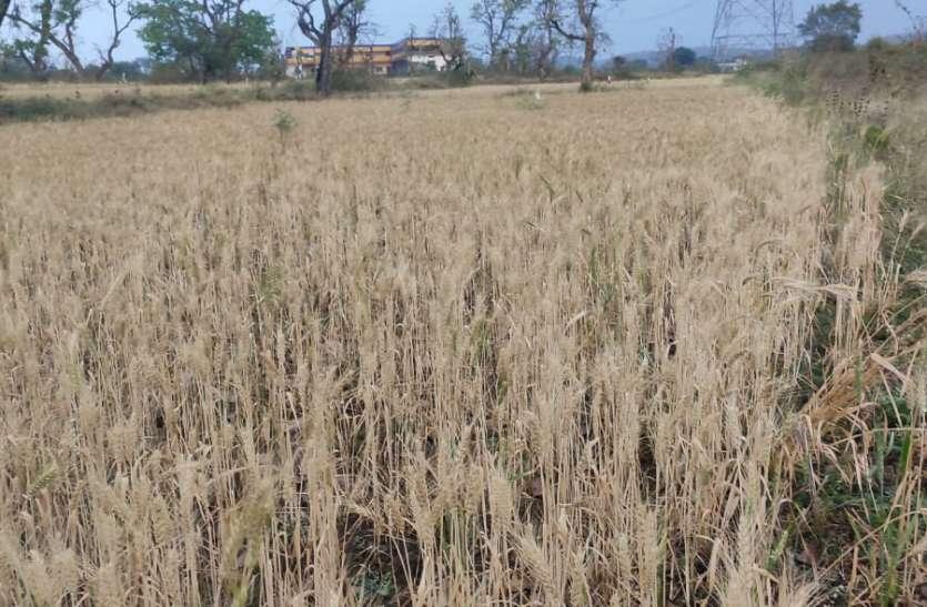 आंधी और बारिश से रबी फसलों को नुकसान की आशंका, किसानों के माथे पर चिंता की लकीर