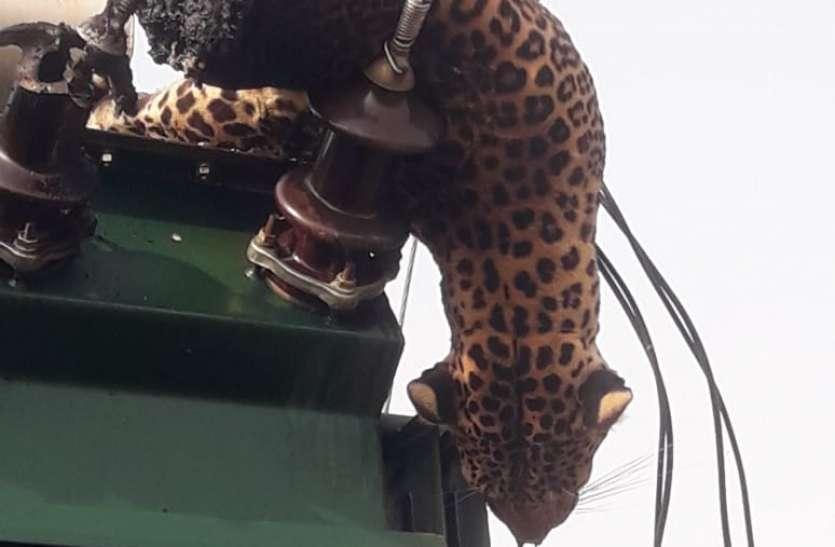 तेंदुआ ने डीपी पर छलांग लगाई, करंट से दो हिस्सों में कटा
