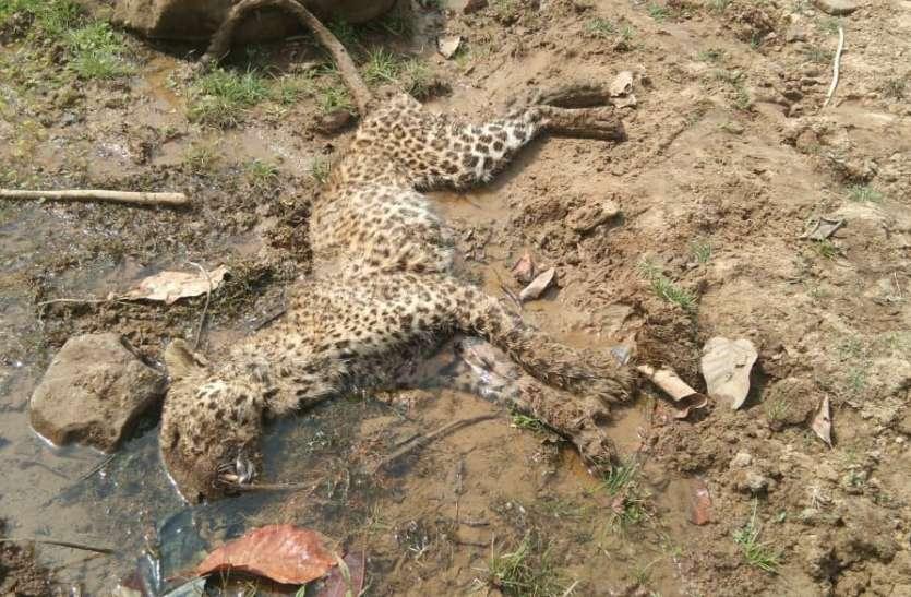 बांधवगढ़ नेशनल पार्क : भूख ने ले ली मादा तेंदुए की जान, वृद्ध होने की वजह से नहीं कर पा रही थी शिकार