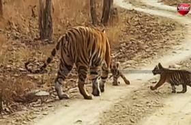 टाइगर रिजर्व से फिर आई खुशखबरी, दो शावकों का जन्म