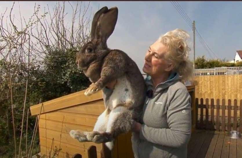 दुनिया का सबसे बड़ा खरगोश हुआ गुम, पुरस्कार जानकर चौंक जाएंगे आप