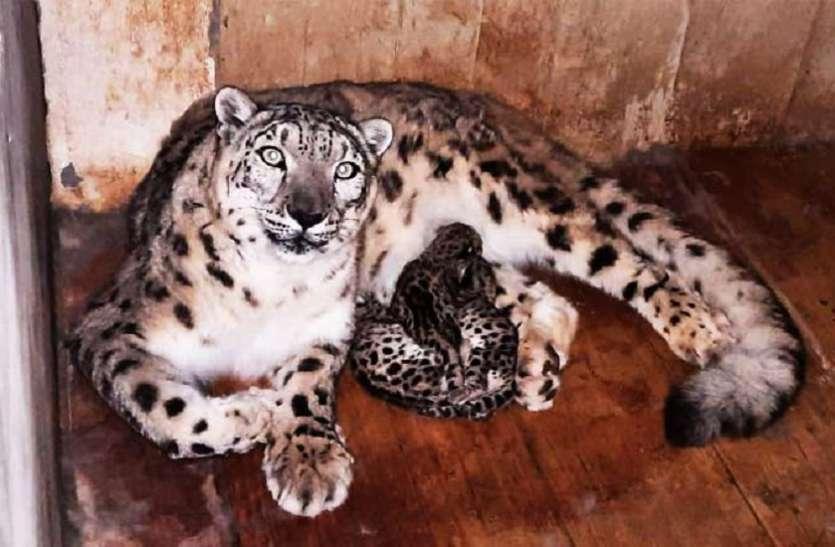 दार्जिलिंग चिड़ियाघर में तीन हिम तेंदुओं का हुआ जन्म