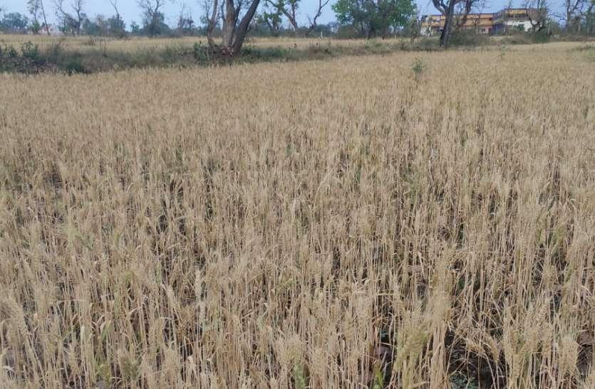 तेज हवाओं और बारिश से रबी फसलों को खतरा, बार बार तैयार फसल खेतों में हो रही गीली