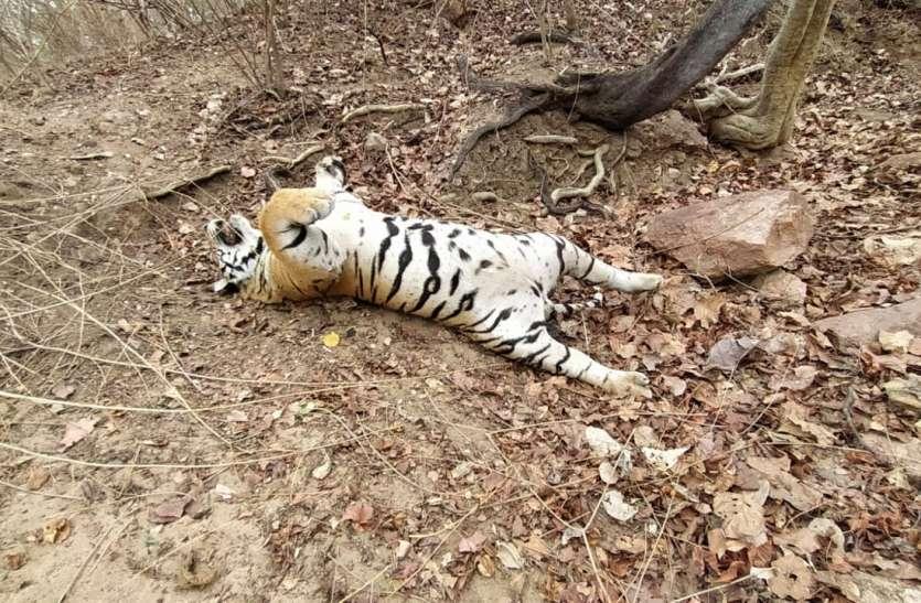पेंच टाइगर रिजर्व के बाघ का जीआई तार से गला घोंटकर शिकार, अपराधियों को तलाश रहा अमला
