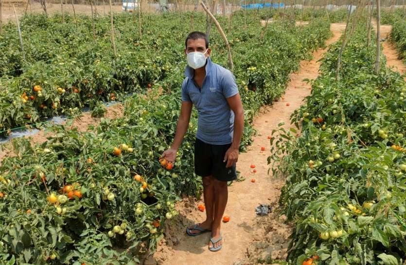 कोरोना से महामुकाबला: लॉकडाउन में टमाटर की खेती से रोजाना 10 हजार का व्यापार, दर्जनों मजदूरों को मिल रहा रोजगार