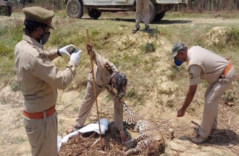 बलरामपुर में तेंदुए का शव मिलने से मचा हड़कंप, वन विभाग ने जांच शुरू की