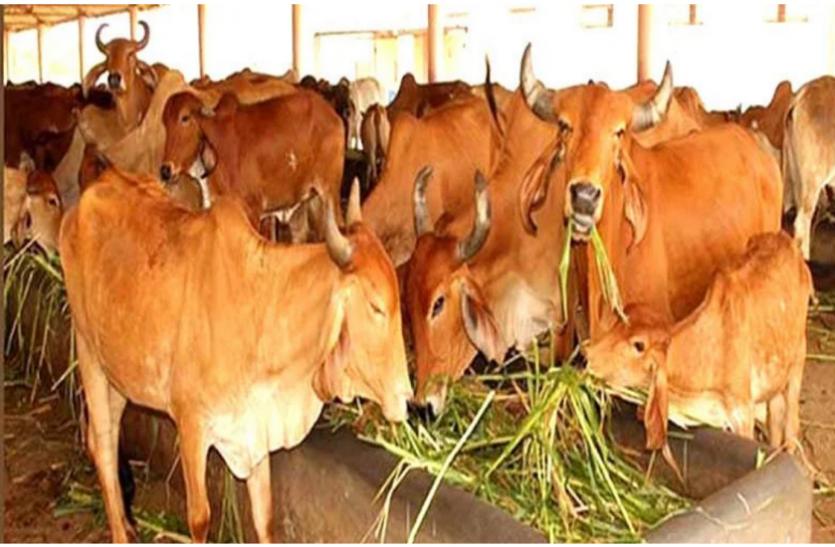 गुजरात कोविड सेंटर में अनोखा बैंक, मरीजों को दी जा रही है गाय के दूध और यूरिन से बनी दवाइयां
