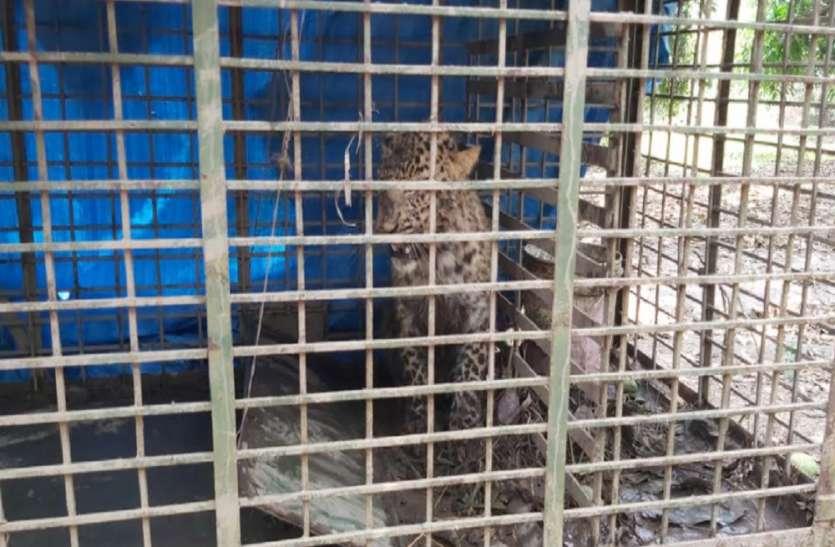 आखिरकार वन विभाग की ट्रिक कामयाब हुई, चंगुल में फंस गया तेंदुआ
