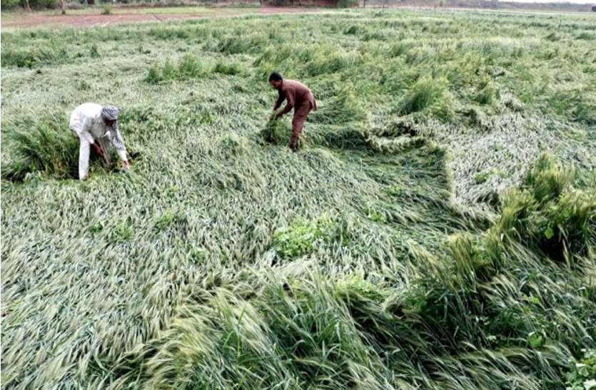 राजस्थान: बेमौसम बारिश-अंधड़ से प्रभावित किसानों को 'राहत', जानें गहलोत सरकार ने क्या लिया फैसला?