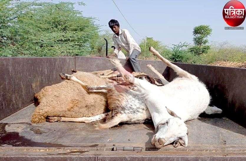 पाली : अज्ञात कारणों से हुई भेड़-बकरियों की मौत, पशु पालकों का रो-रोकर बुरा हाल