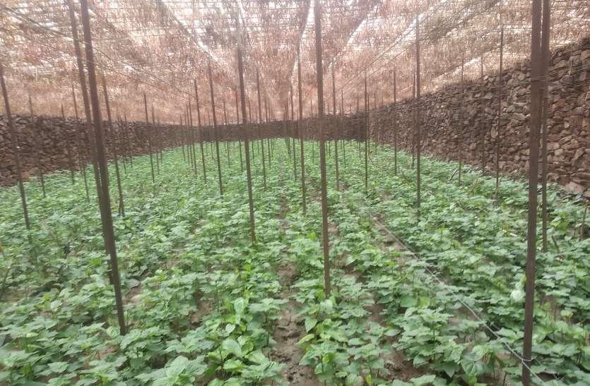 मौसम की मार से मुरझाते पान उत्पादक किसान