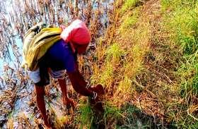 बेमौसम बारिश से बालोद जिले में धान की पूरी फसल बर्बाद, बीमा कवर नहीं मिलने से किसानों की परेशानी बढ़ी