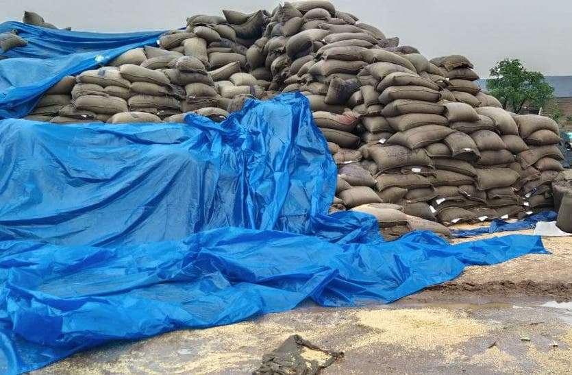 गेहूं के सुरक्षित भंडारण में बड़ी लापरवाही, बारिश के बाद हजारों क्विंटल गेहूं भीगा