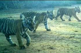 शावकों की तलाश में कोर जोन में उतारे पांच हाथी, 50 घंटे बाद मां की टेरिटरी में ही दिखे चारों शावक