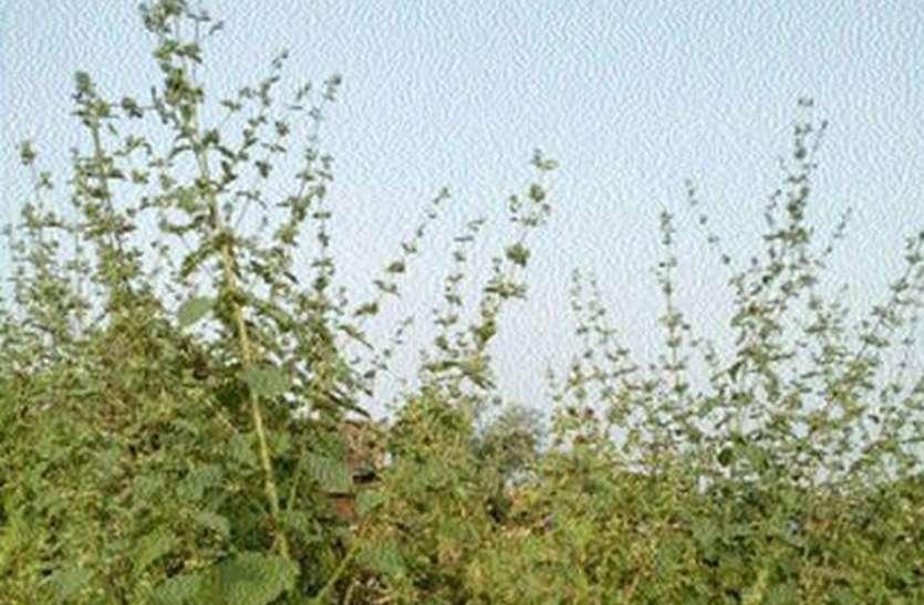 कांठल में घास को लील रही खरपतवार
