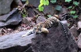 इंसानों जैसी मिसाल : बाघिन की मौत से अनाथ हुए चार शावकों को पिता बाघ ने लिया साथ