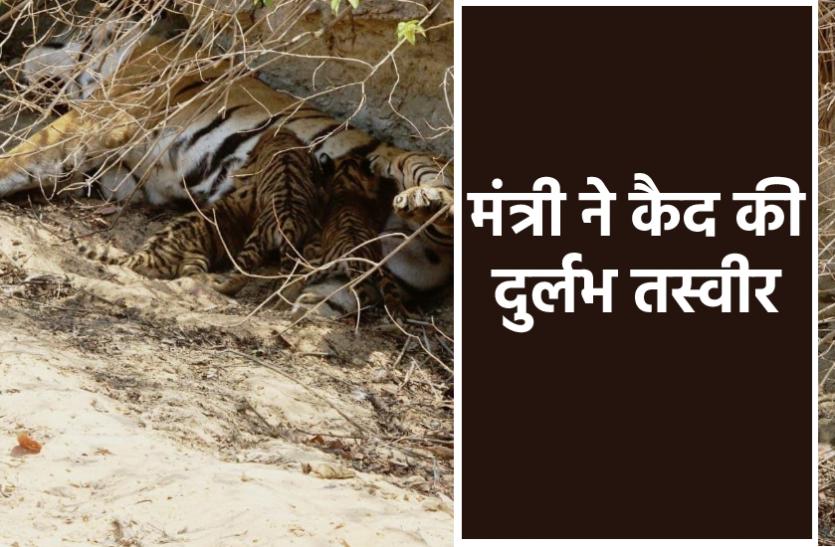 सतपुड़ा टाइगर रिजर्व में वन मंत्री ने अपने मोबाइल में कैद की 4 शावकों को दूध पिलाते हुए बाघिन की दुर्लभ तस्वीरें